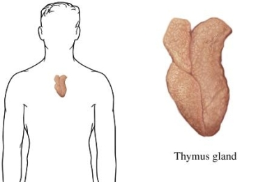 si2141_97870_1_thymus_gland