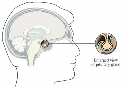Pituitary Gland Male