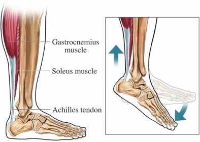 Achilles Tendon action