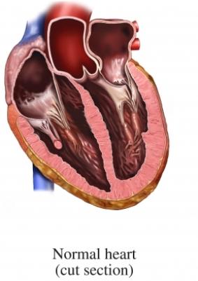 sección del corazón normal