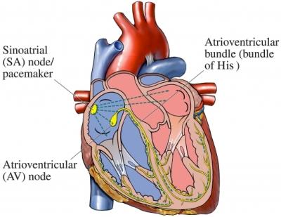 Conducción eléctrica cardíaca