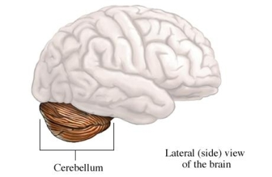 si2027_97870_1_cerebellum