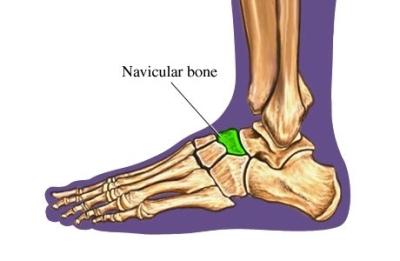 si55550253_97870_1_Navicular_Bone_Foot
