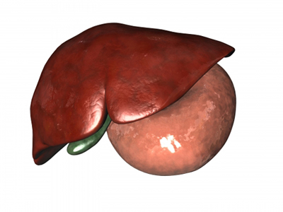 Liver, Gallbladder, and Stomach