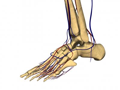 Bones and Vasculature of Foot